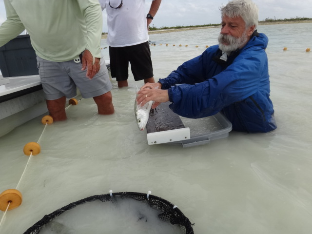 Dave Philipp releasing tagged bonefish