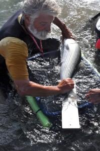 Dave Philipp tagging bonefish, CEI