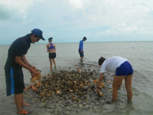 IS students going through a conch midden to assess age distribution of harvested conch.
