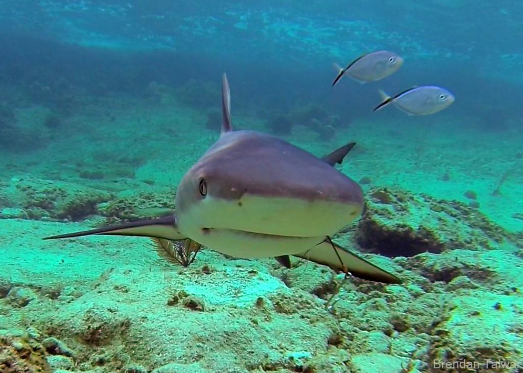 A Caribbean reef shark encountererd during a snorkel.
