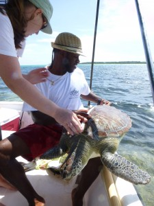 Julius Rankin from Fishbone Tours measuring the carapace length of a green sea turtle.