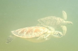 Two green turtles scoot by a snorkeler. Hawksbill and loggerhead turtles were also observed in the creek.