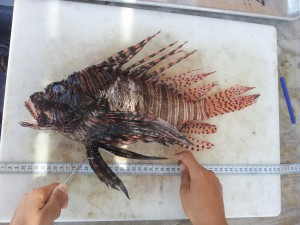 Biggest lionfish on record for Eleuthera