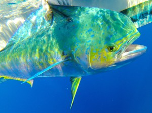 Fig. 1. Anglers target mahi for their strong fight, showy leaps, tasty fillets, and beautiful colors.