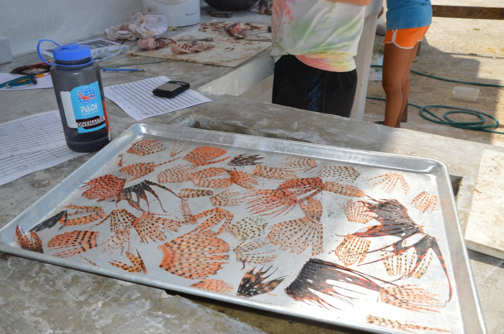 Lionfish fins saved for jewelry making.