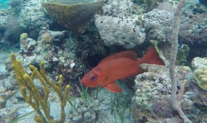 bigeye patch reef transect