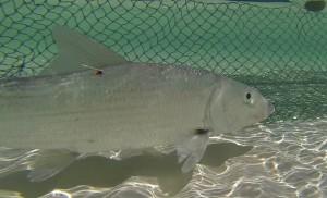 bonefish seine net
