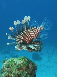 Lionfish fins swimming