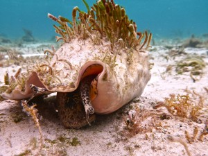An adult queen conch found grazing during summer surveys.