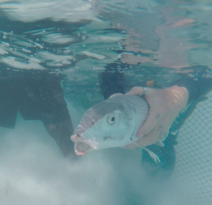 Dr. Owen O'Shea releases an adult bonefish.