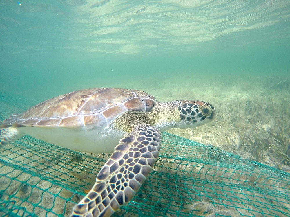 A green turtle caught by the seine net.