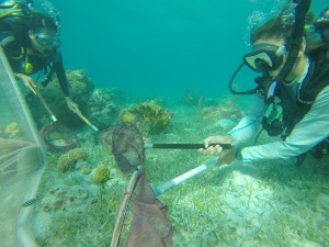 Adrienne Berchtold maintains laser focus as she herds parrotfish into the binky net