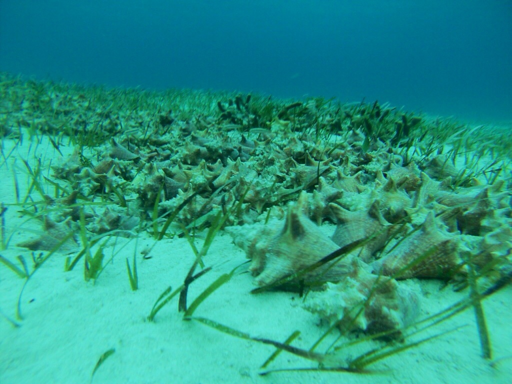 An aggregation of juvenile queen conch piled on top of each other in South Eleuthera