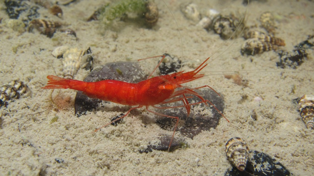 Two species of critically endangered cave shrimp found on Eleuthera
