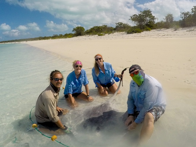 The stingray team with a large male whiptail ray at Hummingbird Cay