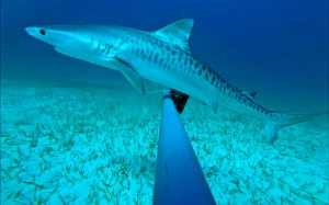 A juvenile tiger shark  (Galeocerdo cuvier) - one of three captured on camera