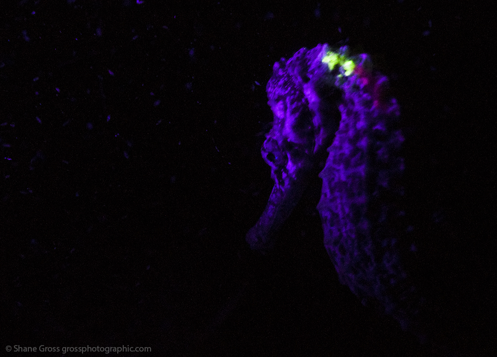 At night a black light shows the tagged fish (photo credit Shane Gross)