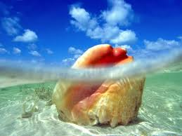 An adult conch in the shallow water