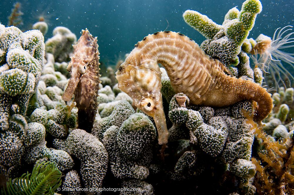 The amazing seahorses of the pond (photo credit Shane Gross)