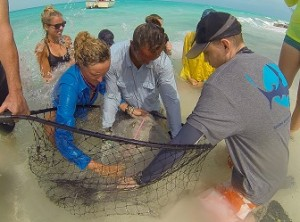 The team take measurements of a stingray prior to fitting an iButton