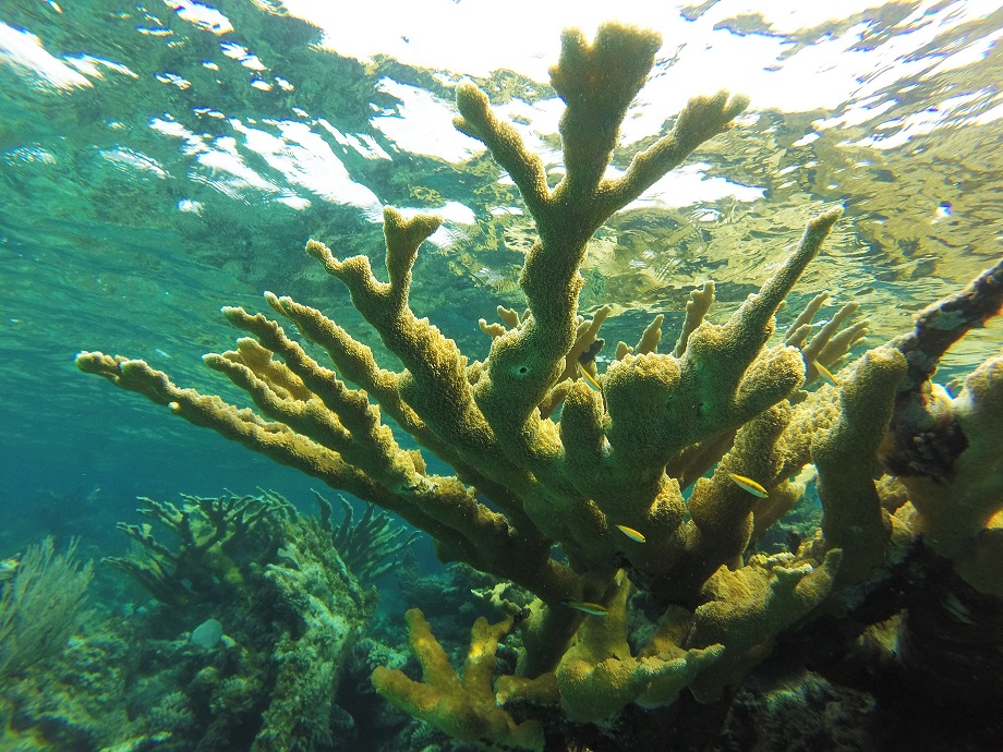 A healthy stand of Elkhorn coral