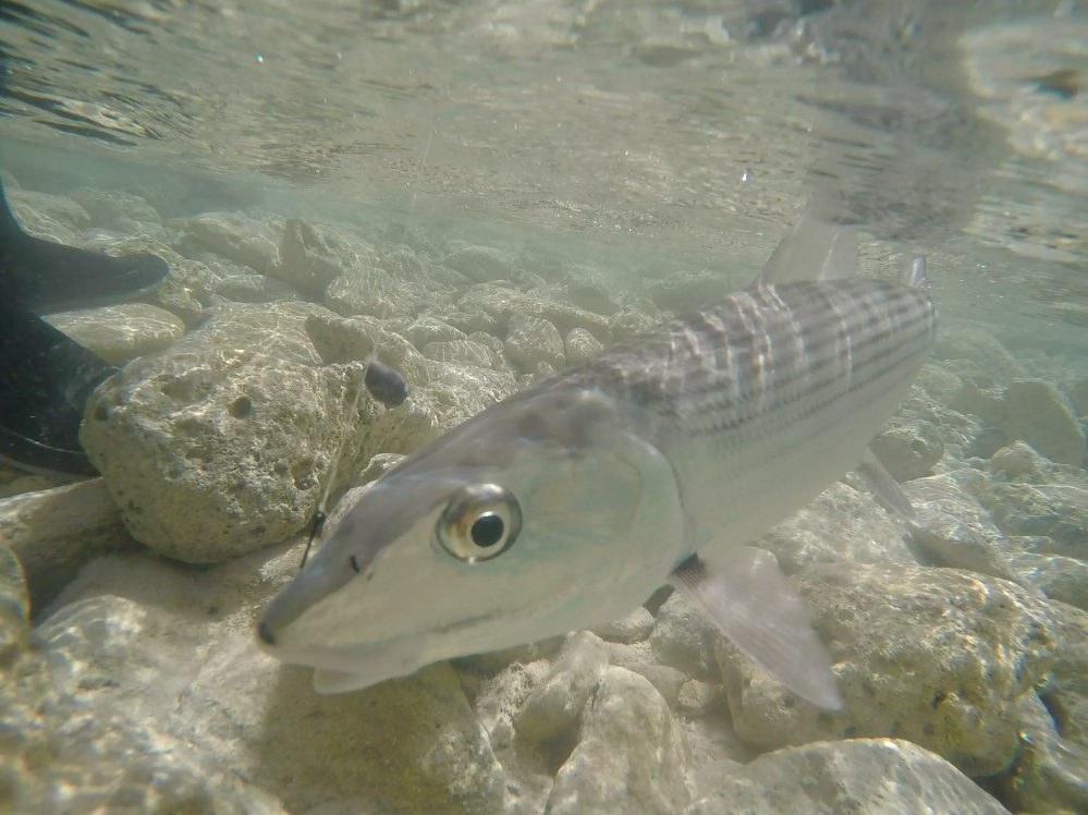 Mature male bonefish captured by a handline from a bonefish prespawning aggregation