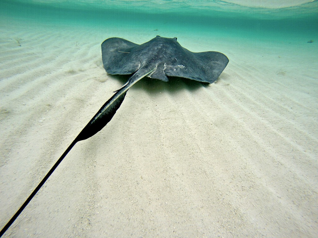 A Southern stingray swims away from the team following capture