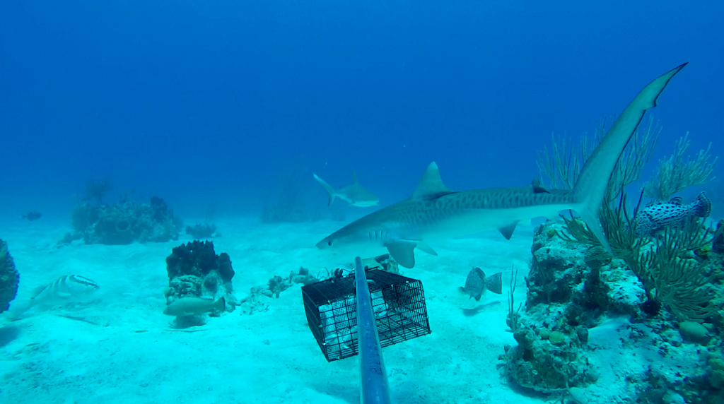 A juvenile tiger shark (Galeocerdo cuvier, right) and a Caribbean reef shark (Carcharhinus perezi, left) swim by a baited remove underwater video (BRUV) off the coast of Conception Island, the Bahamas. Also pictured is a Nassau grouper (far left).