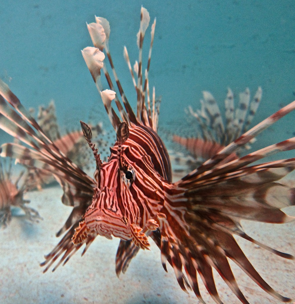 Lionfish acclimating in our wetlab here at CEI.