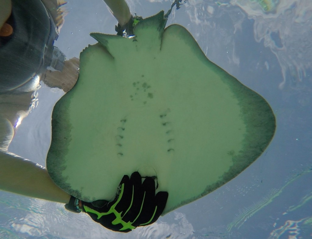 The ventral view of a whiptail stingray showing the animals gill slits