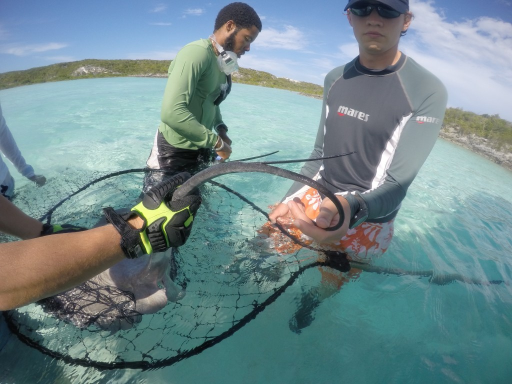 Volunteers Dan and Stand Displaying the tow highly agile and toxic barbs from a juvenile whiptail ray from Samson Cay