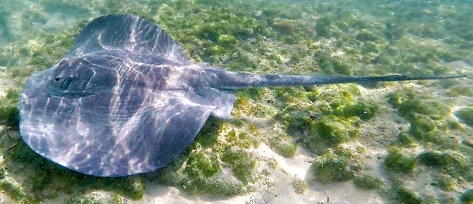 The Caribbean whiptail stingray - specimen from Deep Creek