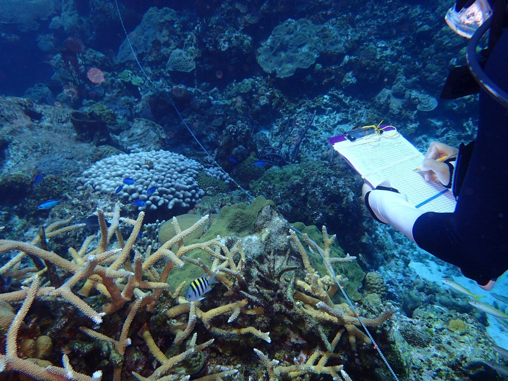 Surveys were conducted at the few Eleutheran reefs left with Staghorn coral, an endangered species in the Caribbean (Photo C. Dahlgren).