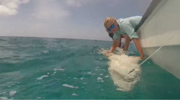 Research Tech Maggie Winchester holds a 258cm long lemon shark in tonic immobility.  This allows the team to take measurements and samples, as well as tag the animal in a manner that is safe for both the shark and the researchers