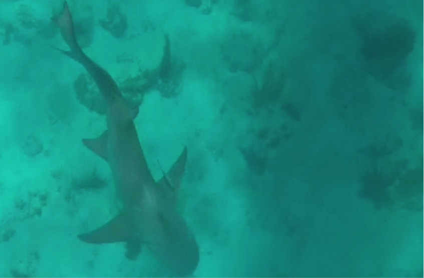 The team watches the lemon shark swim away after a successful capture and release