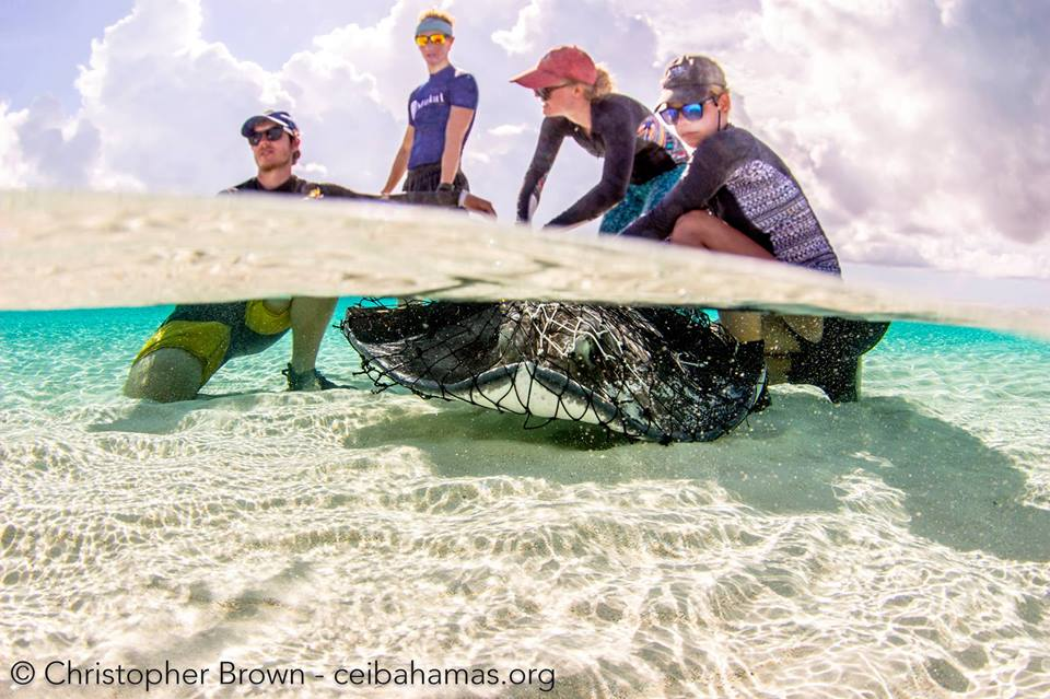 Ethan, Molly and the stingray team work up a large female southern stingray.